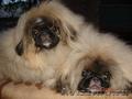 Продается перспективный щенок пекинеса