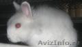декоративный домашний кролик