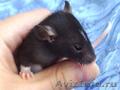 Крысята домашнии