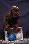Щенок американского кокер спаниеля девочка шоколадка 2 месяца
