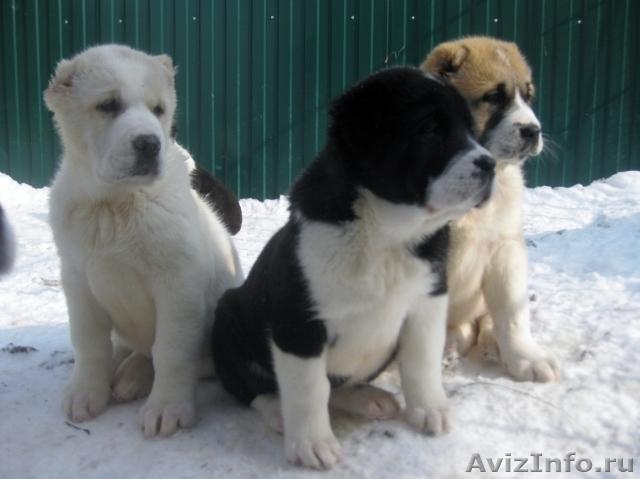 Продам щенки среднеазиатской овчарки(алабая в Чебоксарах, продам ...