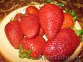 Саженцы крупноплодной клубники