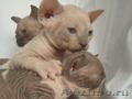 сфинксы голые кошки