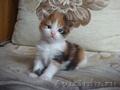 Очаровательные котята породы мейн кун, Объявление #1050335
