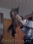Очаровательные котята породы мейн кун - Изображение #2, Объявление #1050335