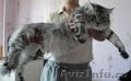 Очаровательные котята породы мейн кун