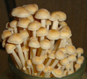 мицелий (грибница) вешенки, шампиньона, шиитаке - Изображение #4, Объявление #375194